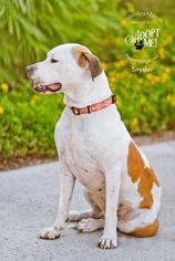 Boxer Mix Dog For Adoption in Chandler, AZ