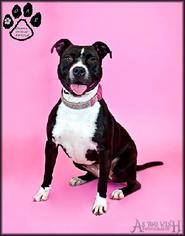 American Pit Bull Terrier Mix Dog For Adoption in Tempe, AZ, USA