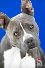 American Staffordshire Terrier Dog For Adoption in Yoder, CO, USA