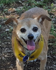 Chihuahua Mix Dog For Adoption in Lago Vista, TX, USA