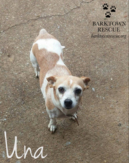 Jack Chi Dog For Adoption in Bardstown, KY