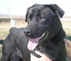 Labrador Retriever Mix Dog For Adoption in Tunica, MS, USA