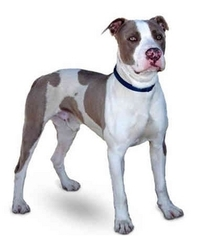 American Staffordshire Terrier Dog For Adoption in Marina del Rey, CA