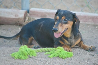 Dachshund Dog For Adoption in Hesperia, CA, USA