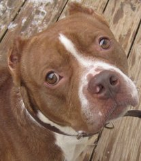 American Staffordshire Terrier Dog For Adoption in Kansas City, MO
