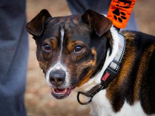 Boston Terrier-Jack Russell Terrier Mix Dog For Adoption in Rockaway, NJ, USA