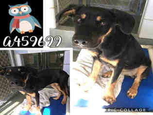 View Ad Rottweiler Unknown Mix Dog For Adoption Texas San Antonio