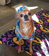 Chihuahua Dog For Adoption in Blacklick, OH
