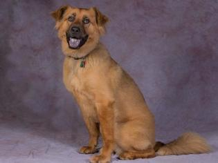 Chow Chow Mix Dog For Adoption in League City, TX, USA