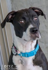 Boxer Mix Dog For Adoption in Chandler, AZ, USA