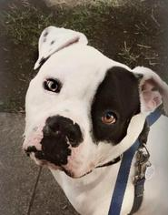 American Bulldog Mix Dog For Adoption in San Ramon, CA, USA