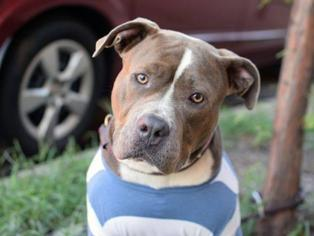 American Staffordshire Terrier Mix Dog For Adoption in New York, NY, USA