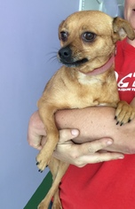 Chihuahua Mix Dog For Adoption in Fresno, CA, USA