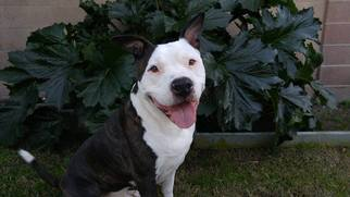 American Pit Bull Terrier Dog For Adoption in Rancho Santa Margarita, CA, USA
