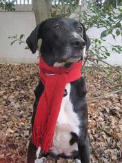 Labrador Retriever Mix Dog For Adoption in Silver Spring, MD