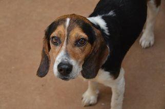 Beagle Dog For Adoption near 35611, Athens, AL, USA