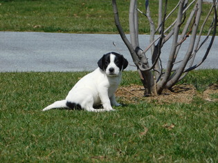 View Ad: American Staffordshire Terrier-Cocker Spaniel Mix