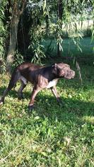 American Pit Bull Terrier Dog For Adoption in Foristell, MO, USA