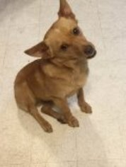 Chihuahua Mix Dog For Adoption in Eastman, GA