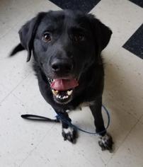 Labrador Retriever Dog For Adoption in Mission, KS, USA
