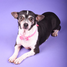 Chihuahua Dog For Adoption in St. Louis Park, MN, USA