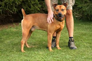 Boxer Mix Dog For Adoption in Beckley, WV