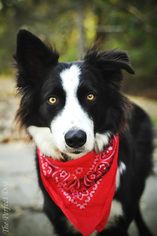 Border Collie Dog For Adoption in Milpitas, CA, USA