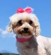 Maltese Dog For Adoption in Bon Carbo, CO