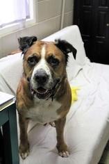 Saint Bernard Dogs for adoption in Washougal, WA, USA