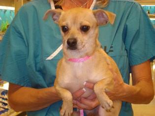 Chihuahua Dog For Adoption in Tonopah, AZ, USA