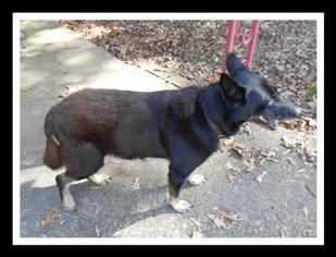 German Shepherd Dog Dog For Adoption in Madison, AL