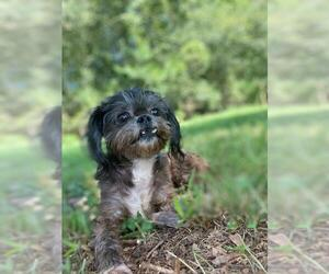 Peke-A-Poo Dogs for adoption in Pacolet, SC, USA