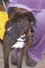 Labrador Retriever Mix Dog For Adoption in Northport, AL, USA