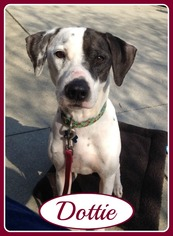 Dalmatian Mix Dog For Adoption in Raleigh, NC, USA