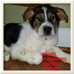 View Ad German Shepherd Dog Saint Bernard Mix Dog For