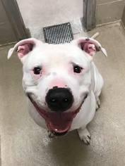 American Bulldog Dog For Adoption near 62707, Springfield, IL, USA