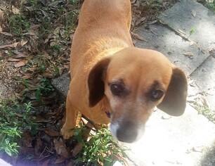 Chiweenie dog