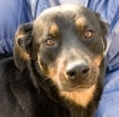 Rottweiler Dog For Adoption in Lago Vista, TX, USA