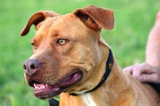 American Pit Bull Terrier-Labrador Retriever Mix Dog For Adoption in Monroe, NC, USA