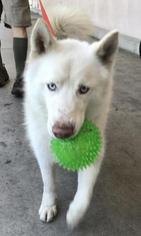 Siberian Husky Dog For Adoption in Campbell, CA, USA