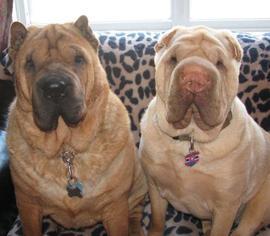 Chinese Shar-Pei Dog For Adoption in Prescott, ON, USA