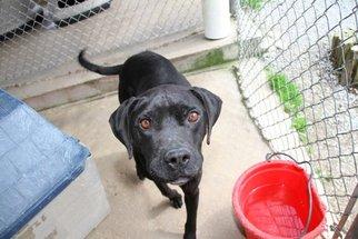 Boxador Dog For Adoption in Crossville, TN, USA