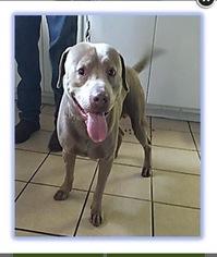 American Pit Bull Terrier-Labrador Retriever Mix Dog For Adoption in Woodstock, GA