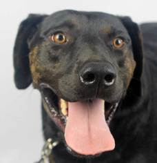 Pointer Dog For Adoption in Winder, GA
