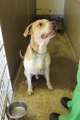 Labrador Retriever Dog For Adoption in Lewistown, PA, USA
