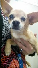 Chihuahua Dog For Adoption in San Angelo, TX