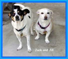 Rat Terrier Mix Dog For Adoption in Midway City, CA