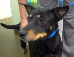 Australian Kelpie Dog For Adoption in Rockaway, NJ