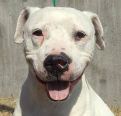 American Bulldog Dog For Adoption in Kansas City, MO, USA