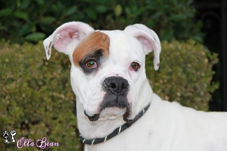 Boxer Dog For Adoption in Los Angeles, CA
